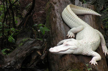 alb-gator